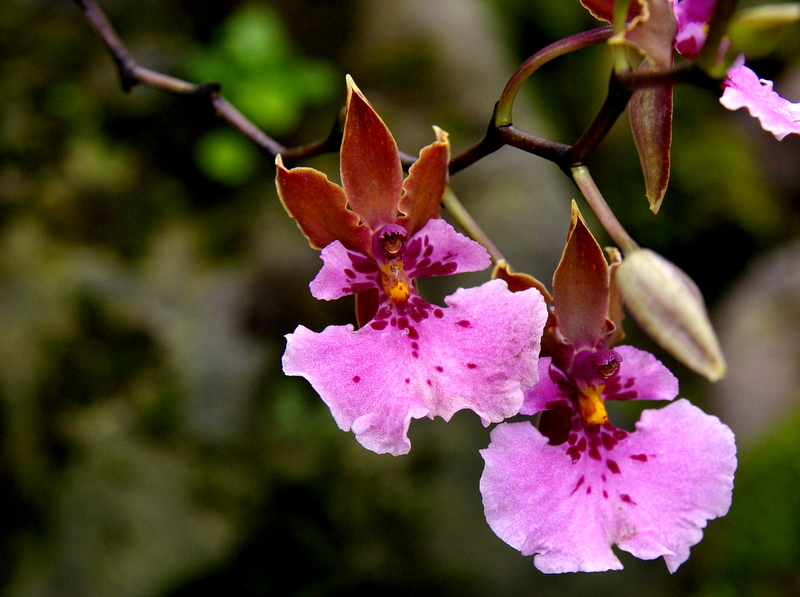Orchids in Quito's Botanical Gardens